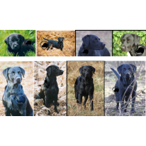 A collection of 8 cards each showing a black labrador
